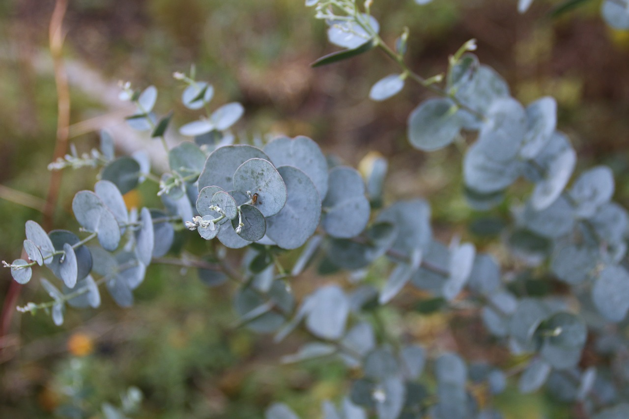 eucalyptus-771994_1280